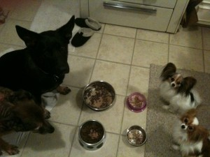 Four dog dinner time ritual