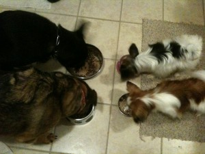my four dogs eating together