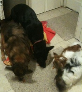 Four dogs eating treats